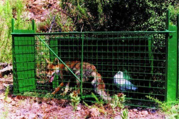 Jaula trampa captura perros y zorros