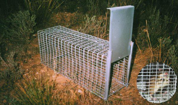 Jaula trampa captura ratas floresalud - Construir trampa para ratas ...