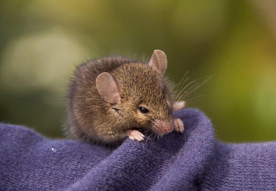 Plagas de ratones