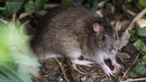 Invasión de ratas