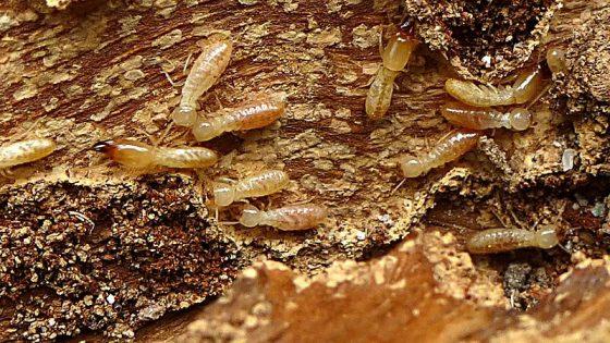 Termitas en España