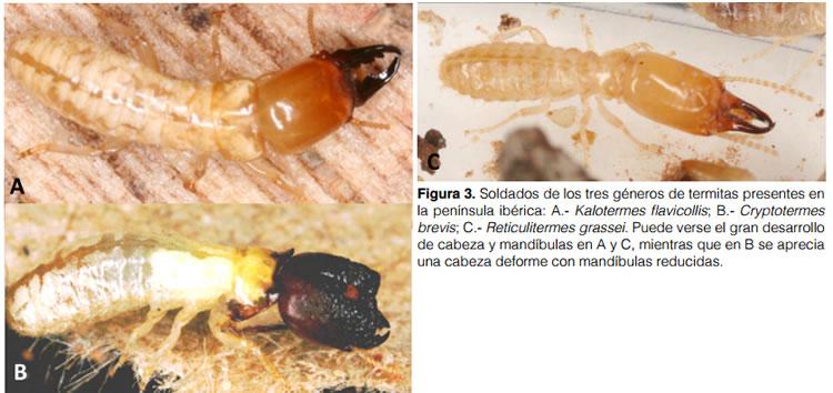 Soldados de termitas